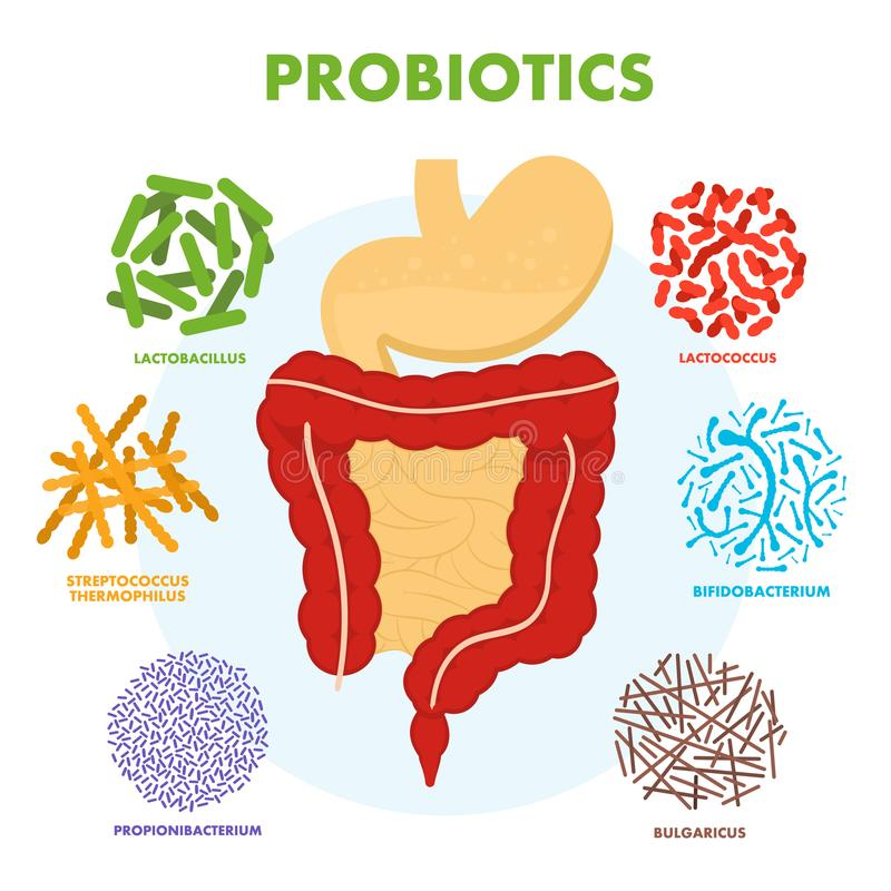 Human digestive tract system with probiotics. Human intestine microflora. Microscopic probiotics, good bacterial flora royalty free illustration