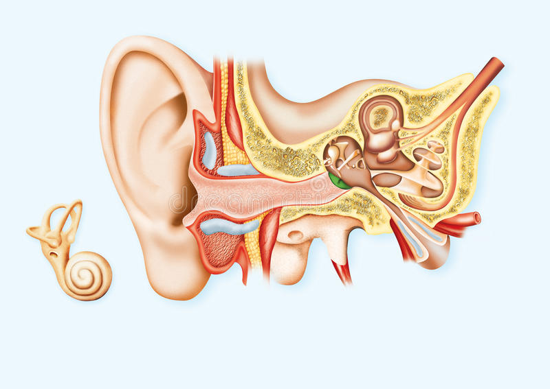 Download Human Ear stock illustration. Illustration of lobule - 23835044