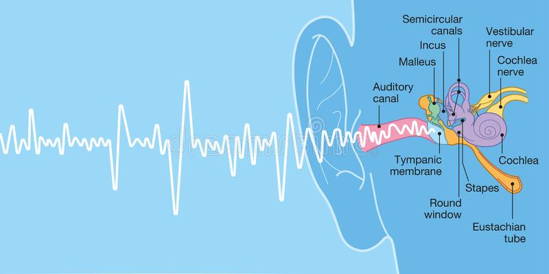 Human ear anatomy with captions, medically accurate 3D illustration. With sound wave vector illustration
