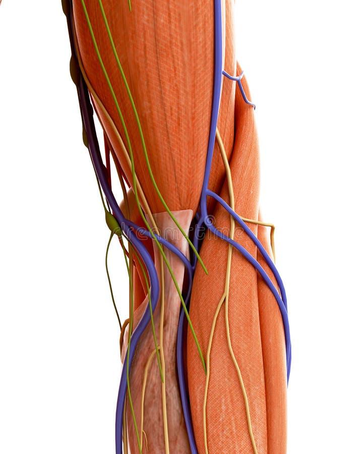 The human elbow anatomy stock illustration. Illustration of muscle ...