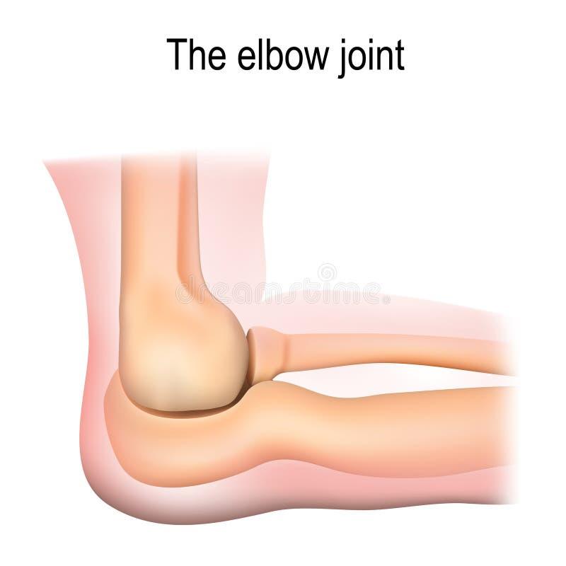 Human elbow joint anatomy. vector illustration