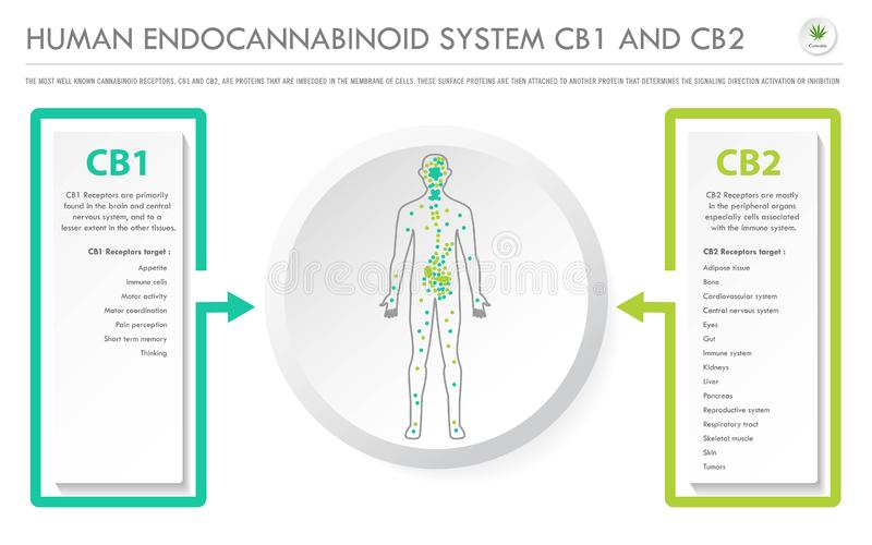 Human Endocannabinoid System CB1 and CB2 horizontal business infographic stock illustration