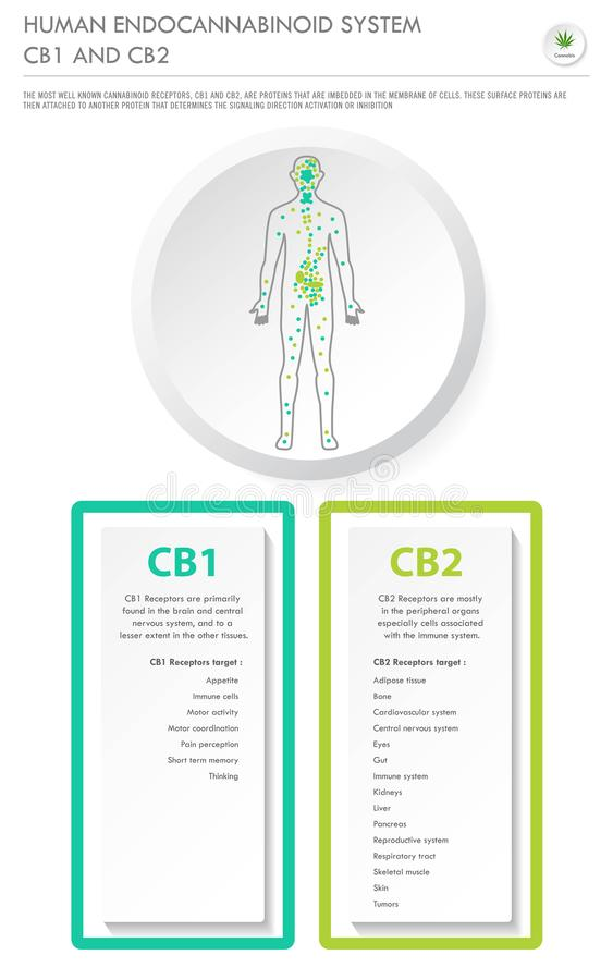 Human Endocannabinoid System CB1 and CB2 vertical business infographic stock illustration