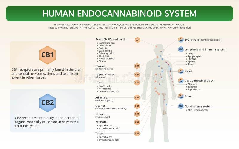 Human Endocannabinoid System horizontal textbook infographic royalty free illustration