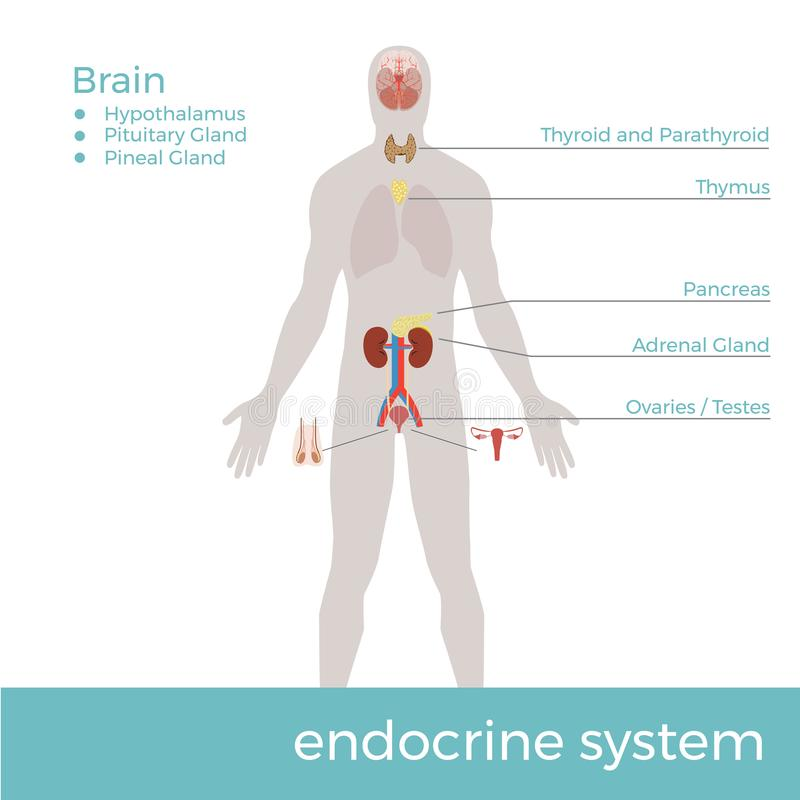 Human Endocrine System. Vector Format Illustration Stock Vector ...