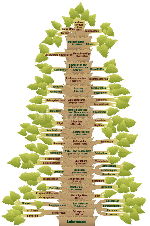 Human Evolution Phylogenetic Tree Of Life German. Detailed scientific classification of modern humans from ORGANISM via EUKARYOTES, VERTEBRATES, MAMMALS royalty free illustration