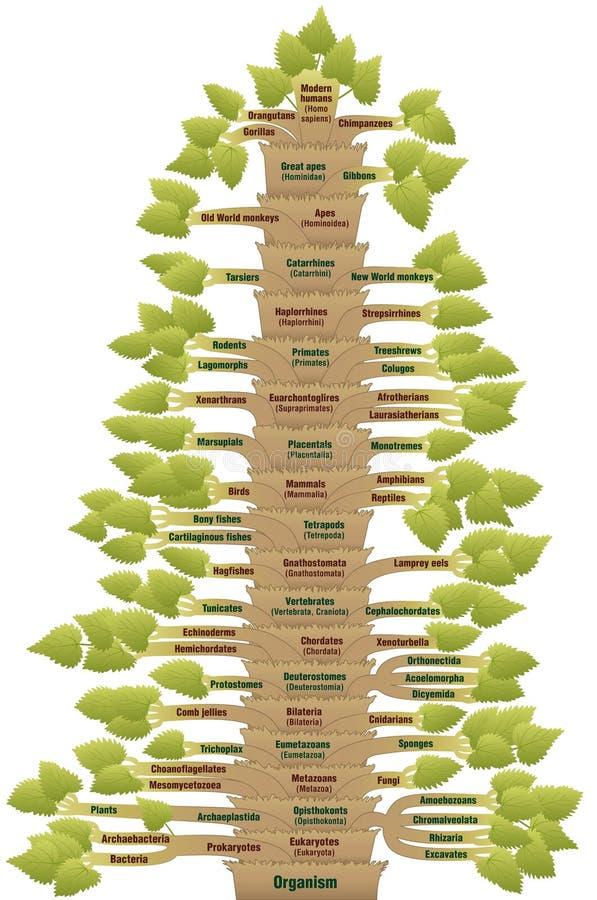 Human Evolution Tree Of Life Phylogenetic. Detailed scientific classification of modern humans, from ORGANISM via EUKARYOTES, VERTEBRATES, MAMMALS, TETRAPODS royalty free illustration