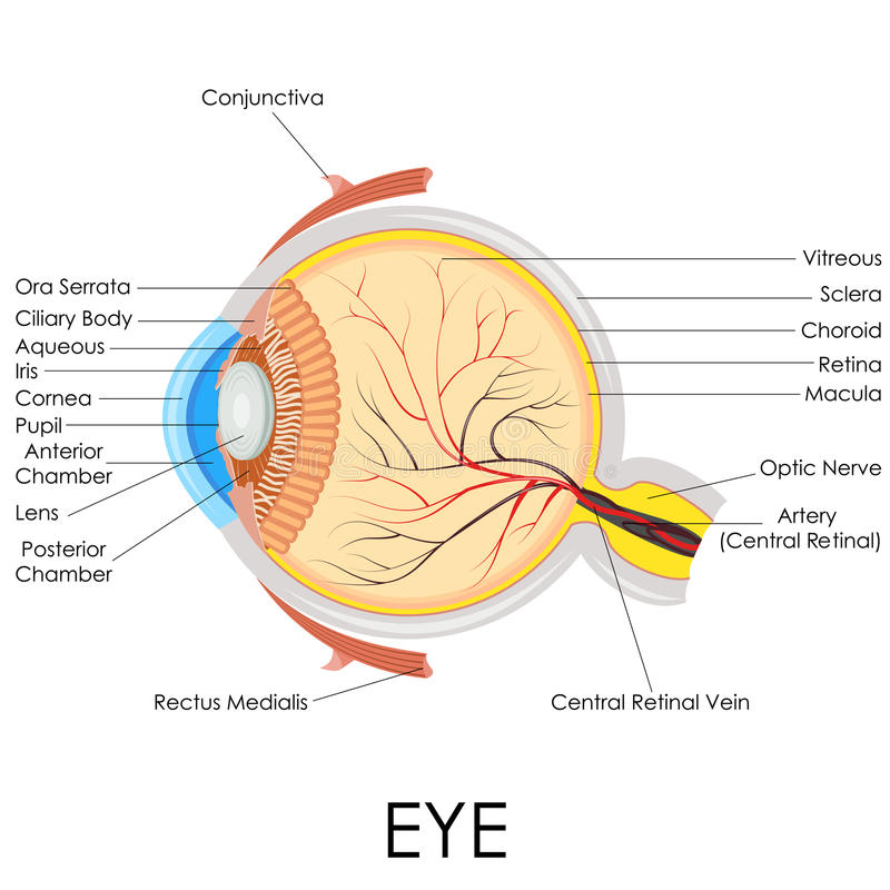 Human Eye Anatomy. Vector illustration of diagram of human eye anatomy stock illustration