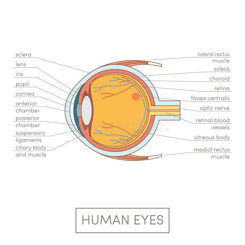 Human eye anatomy. Cartoon simple illustration for medical atlas or educational textbook. Cross-section of an eyes stock illustration