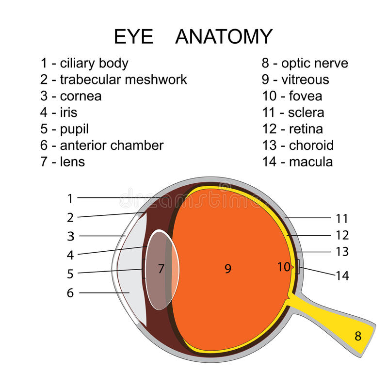 Human eye anatomy. With description. vector illustration royalty free illustration