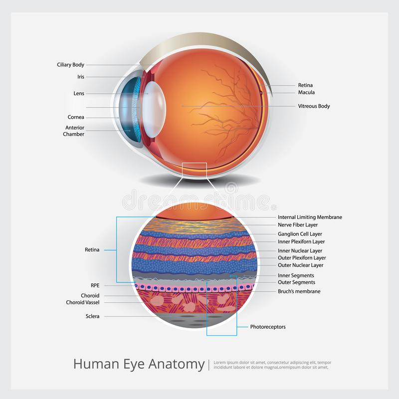 Human Eye Anatomy royalty free illustration