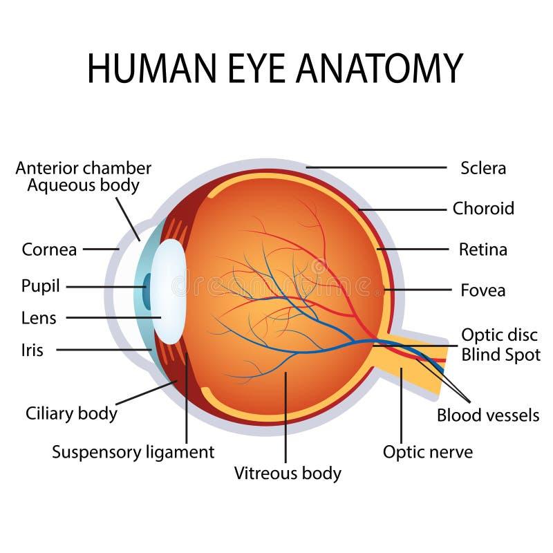 Human eye anatomy stock vector. Illustration of eyesight - 68225090