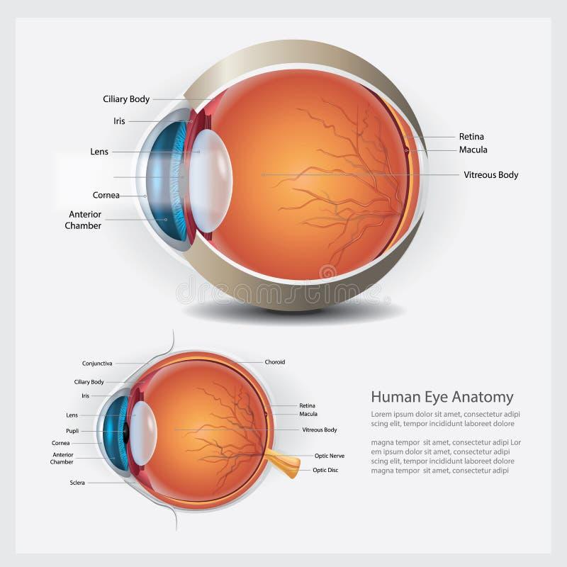 Human Eye Anatomy and Normal Lens. Vector Illustration royalty free illustration