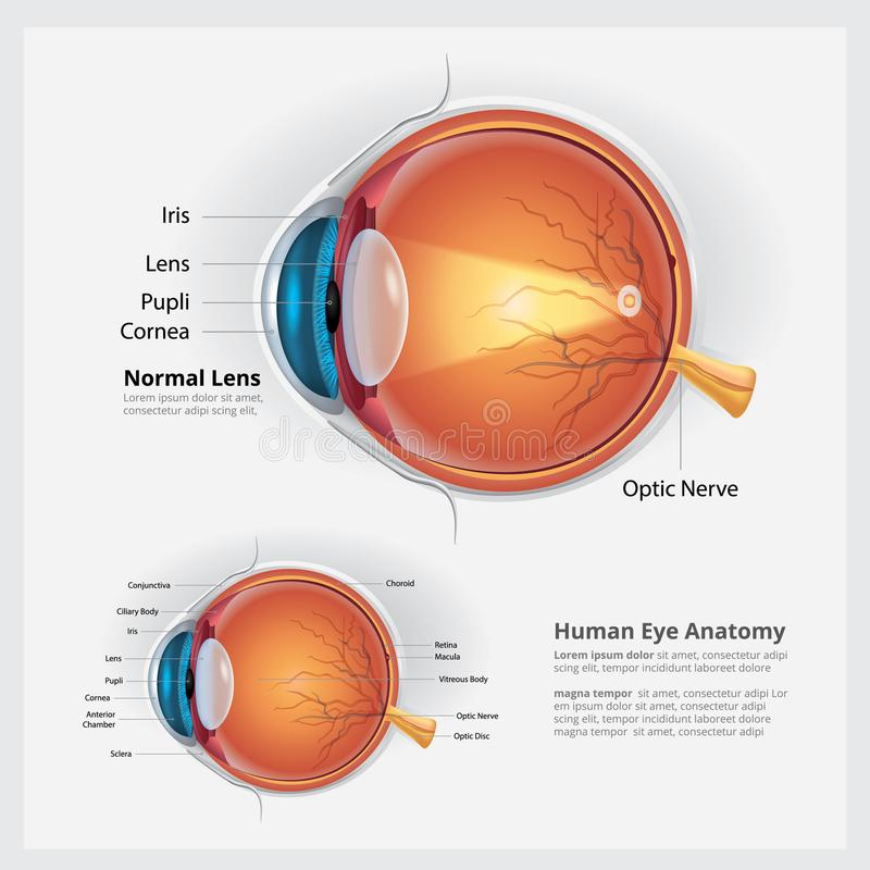 Human Eye Anatomy And Normal Lens Stock Vector - Illustration of ...