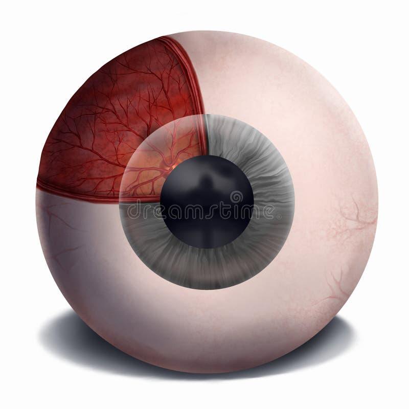 Human Eye Anatomy - Painting. Painting of the anatomy of the human eye royalty free illustration
