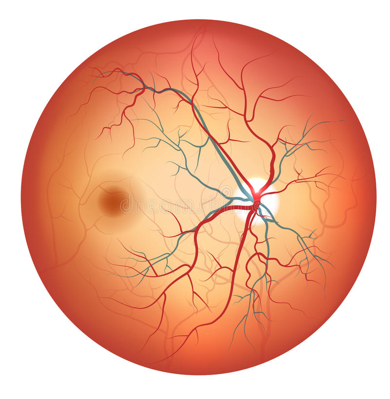Human Eye Anatomy, Retina Detailed Illustration Stock Images