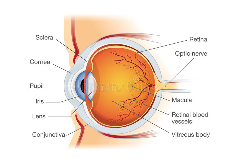 Human eye anatomy in side view. vector illustration