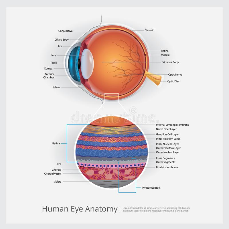 Human Eye Anatomy stock vector. Illustration of education - 106573593