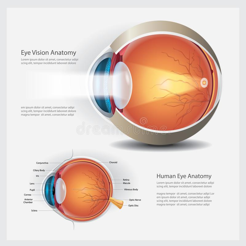 Human Eye Anatomy stock illustration