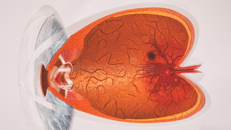 Human eye anatomy very detailed in cross section. Human eye anatomy very detailed stock illustration