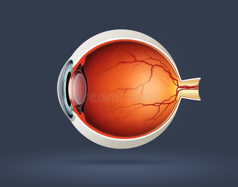 Human eye cross section. High quality raster illustration of human eye cross section royalty free illustration