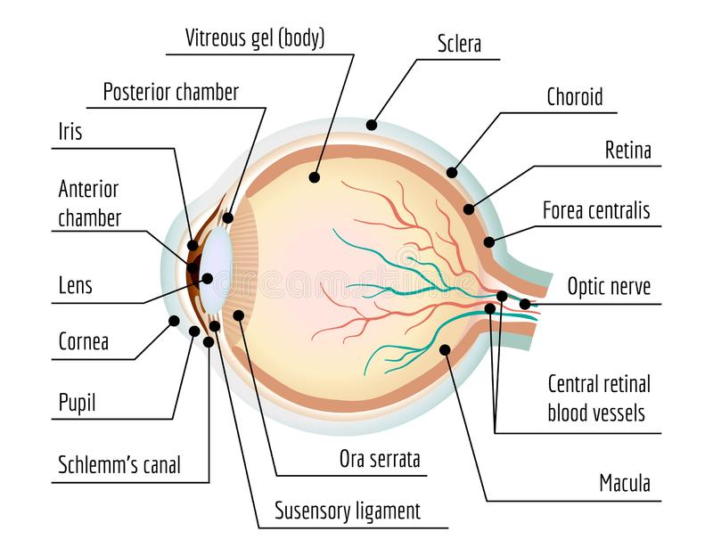 Human eye section infographic, cartoon style. Human eye section infographic. Cartoon of human eye section vector infographic for web design royalty free illustration