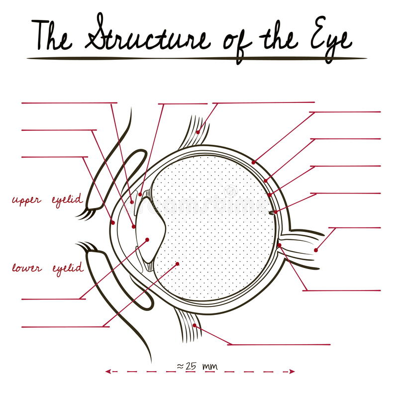 The human eye structure vector illustration