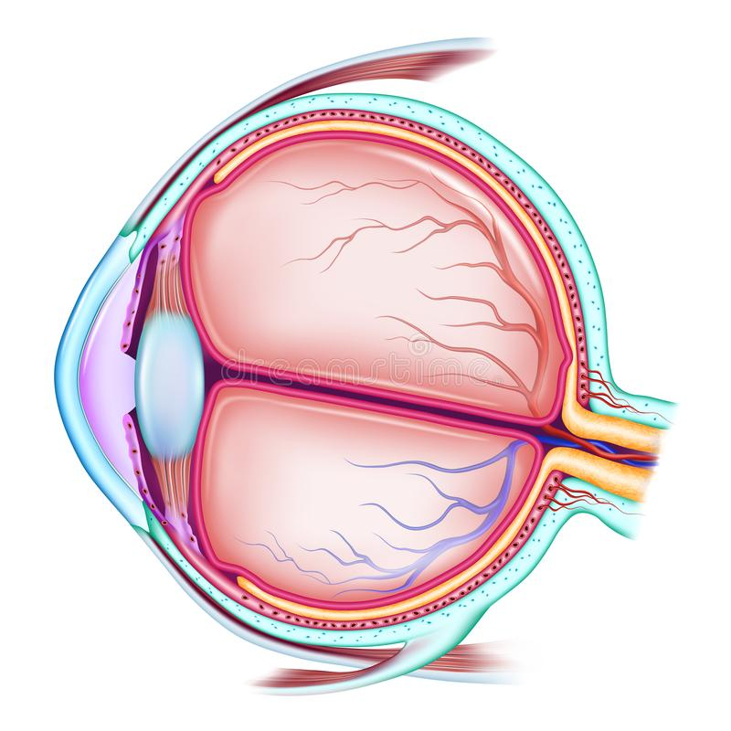 The human eye. The structure of the eyeball. Medical didactic allowance for study. Vector illustration. On a white background royalty free illustration