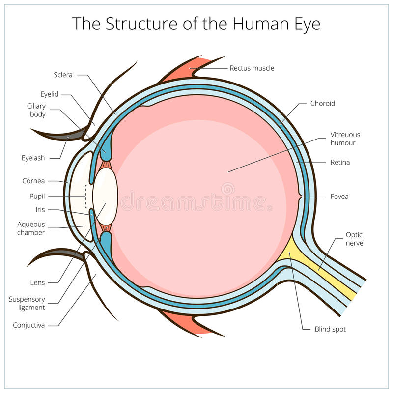 Human eye structure scheme vector. Human eye structure scheme medical vector illustration. Educational material stock illustration
