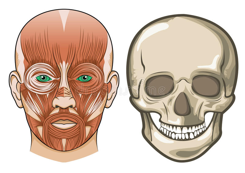 Download Human Facial Anatomy And Skull In Vector Royalty Free Stock Photo - Image: 13871255
