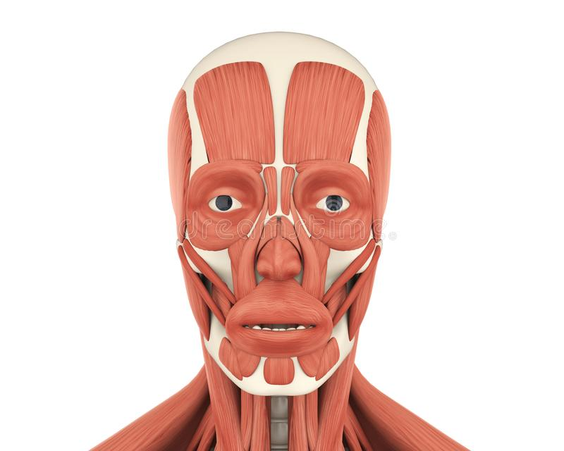 Human Facial Muscles Anatomy Stock Illustration - Illustration of ...
