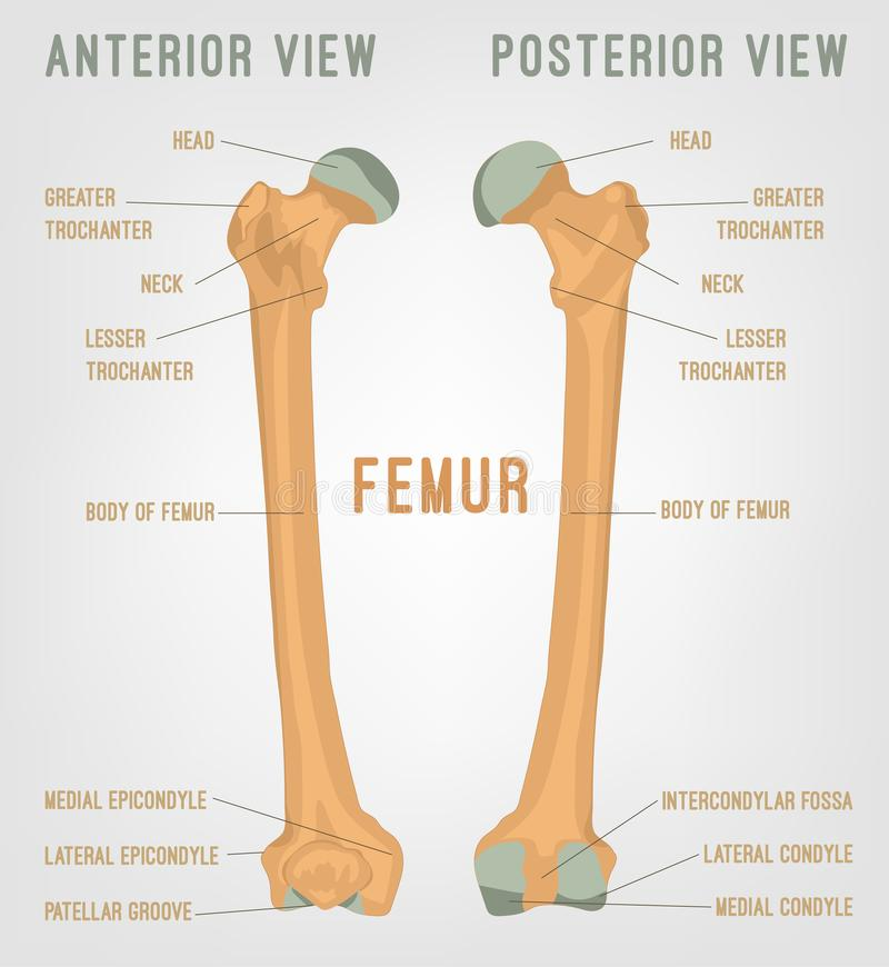 Femur Stock Illustrations – 5,173 Femur Stock Illustrations, Vectors