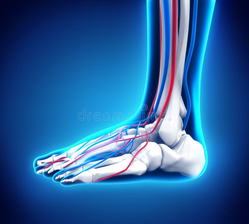 Human Foot Anatomy stock illustration