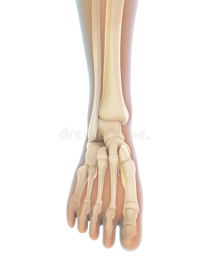 Human Foot Anatomy vector illustration