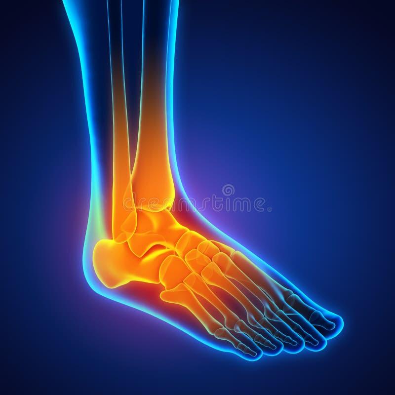 Human Foot Anatomy Illustration stock illustration