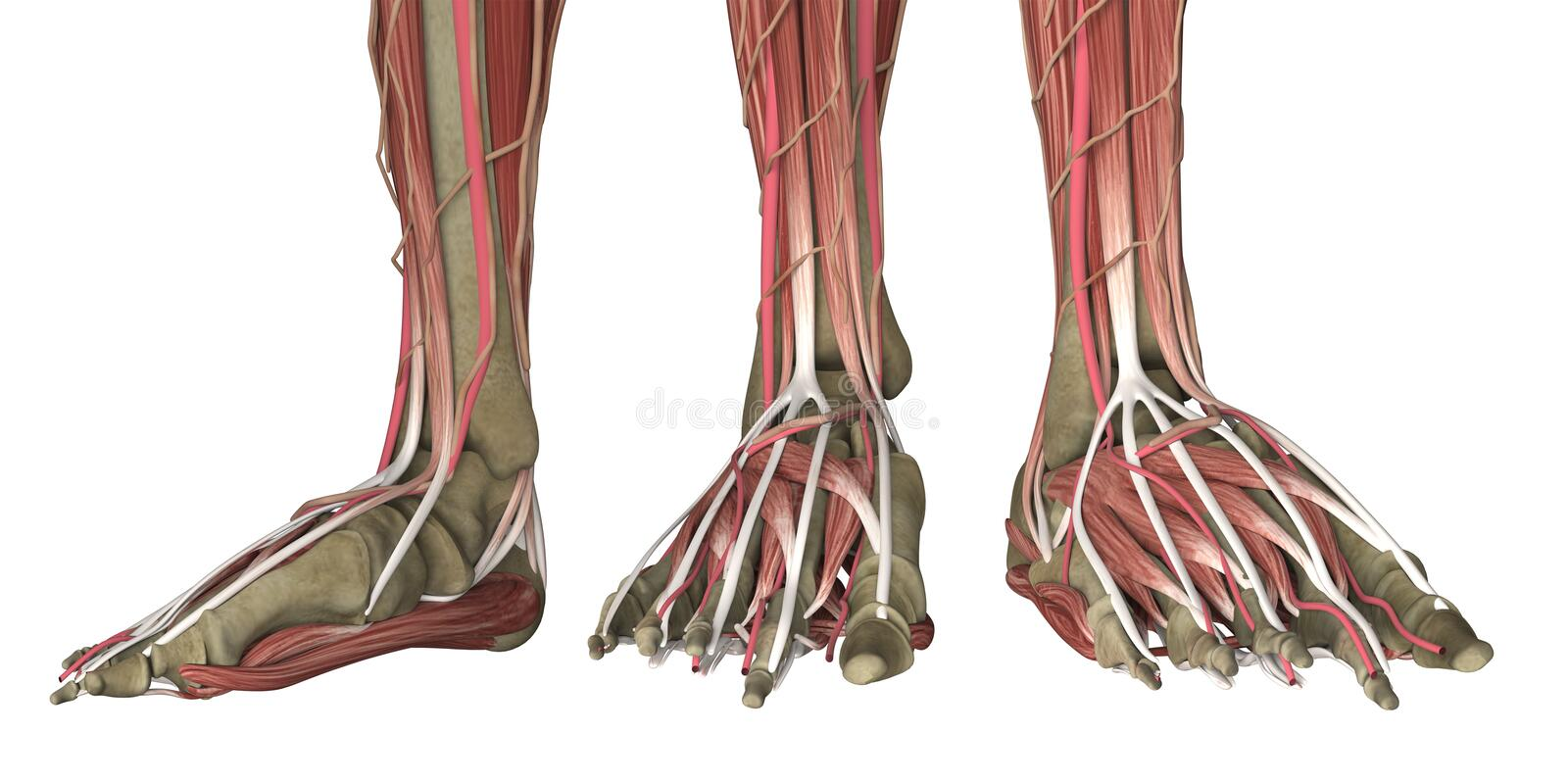 Human foot anatomy skinless. Isolated on white. 3d rendering royalty free stock photos