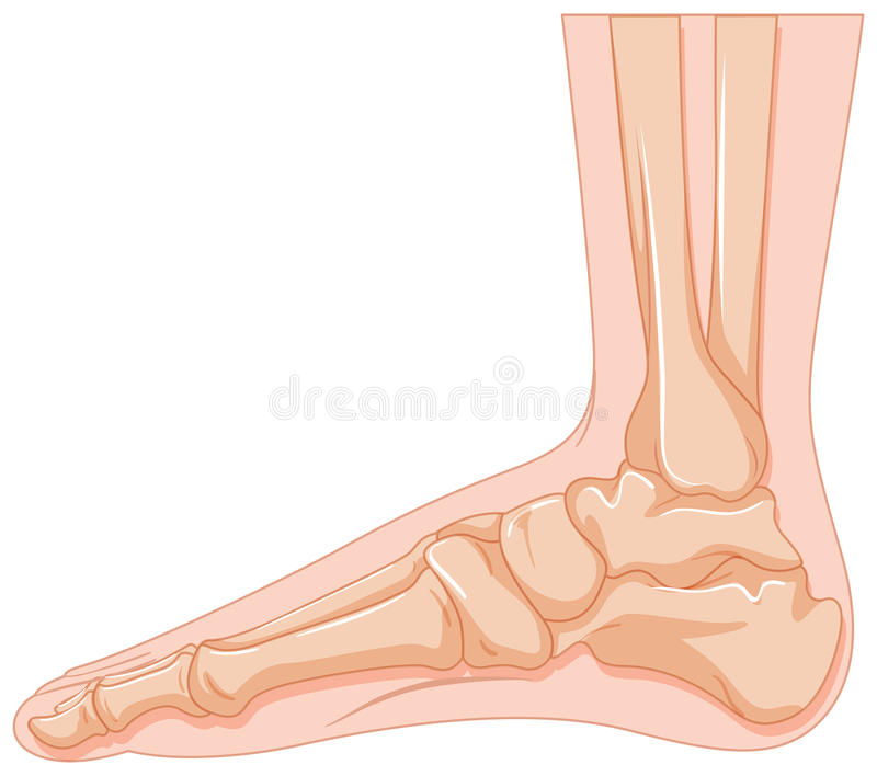Human foot bone on white background. Illustration royalty free illustration