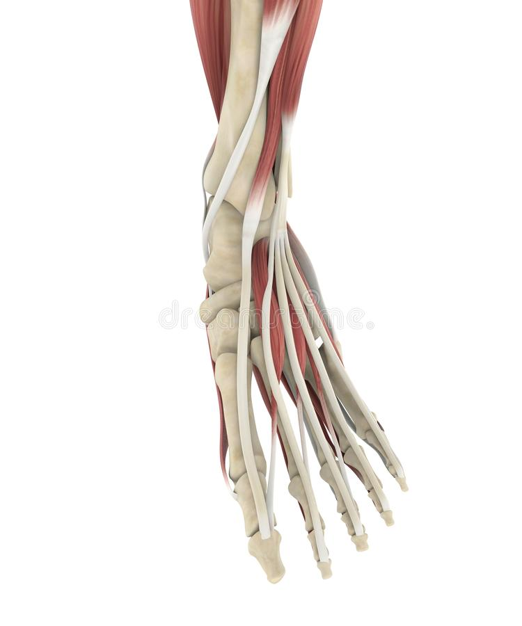 Human Foot Muscles Anatomy stock illustration