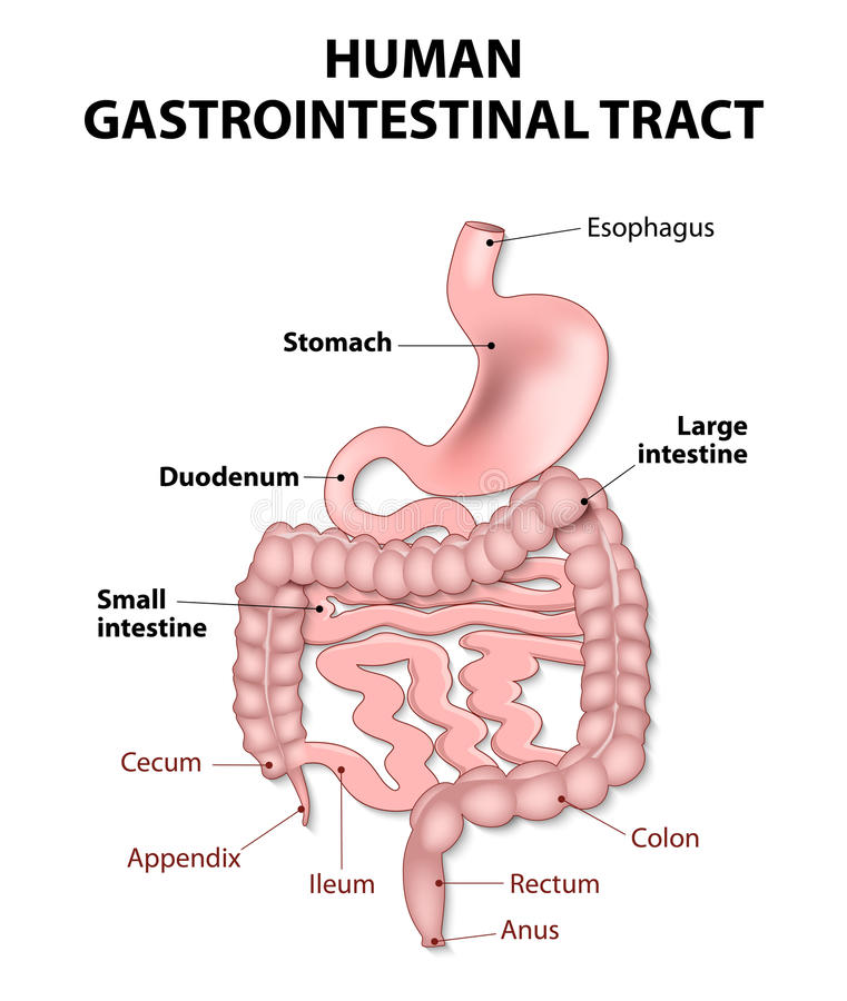 Human gastrointestinal tract. Gastrointestinal tract includes all structures between the esophagus and anus. Human anatomy vector illustration