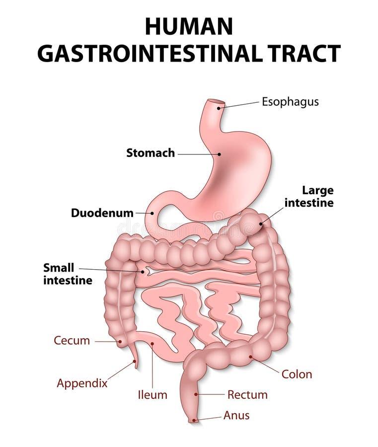 Human gastrointestinal tract vector illustration