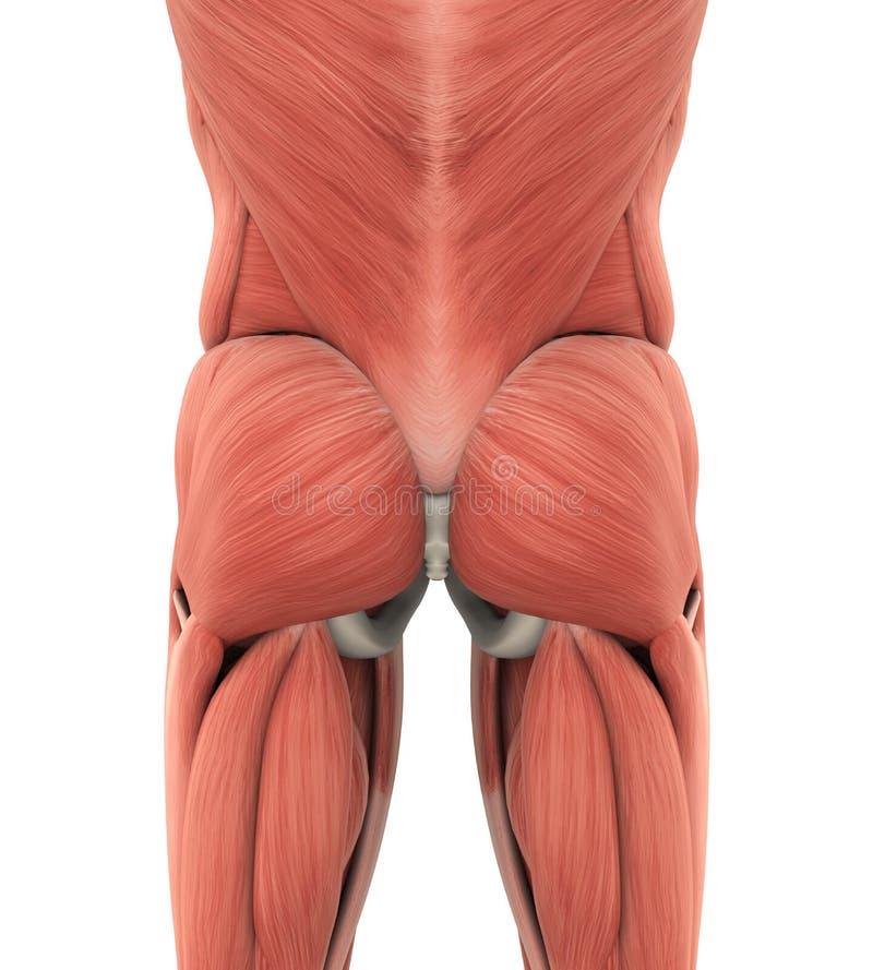 Human Gluteal Muscles Anatomy Stock Illustration - Illustration of ...