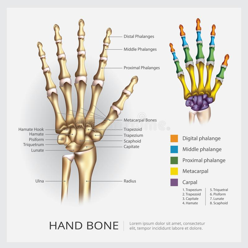 Human Hand Bone. Vector Illustration stock illustration