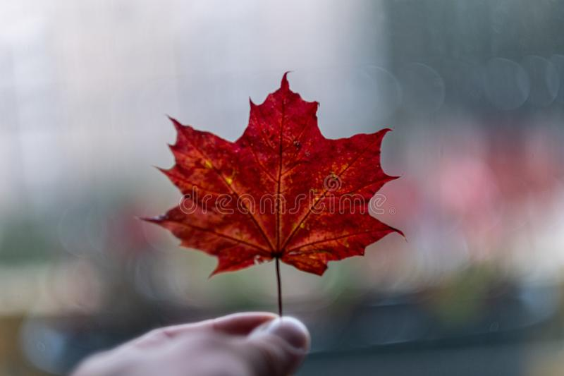 human hand holding colored autumn tree leaf stock image