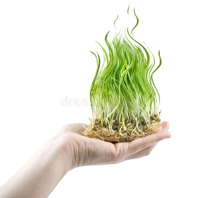 Human hand holding green grass in shape of fire. On white stock photography