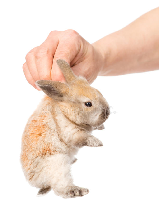Human hand holding a newborn rabbit. isolated on white. Background royalty free stock image