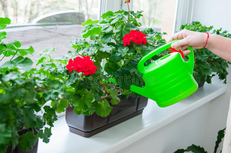 Human hand holding watering can and watering red Geranium flowers pots on windowsill. Indoor. Selective focus. royalty free stock image