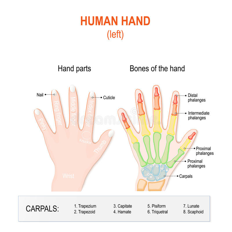 Human hand parts and Bones. royalty free illustration