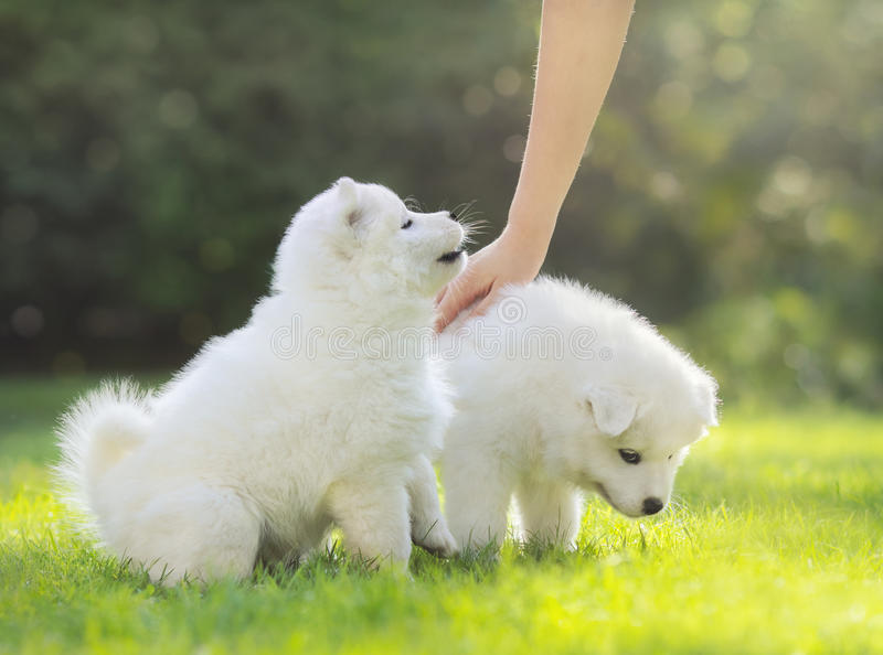 Human hand patting white puppy of Samoyed dog. royalty free stock photos