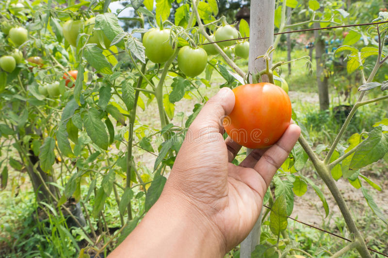 Human hand picking ripe tomato at at plant nursery. Selected focus on red tomato stock photography