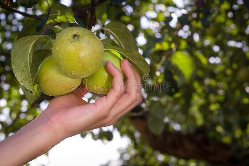 Human hand plucks ripe apples from a tree on the huge garden. Harvesting apples royalty free stock photography